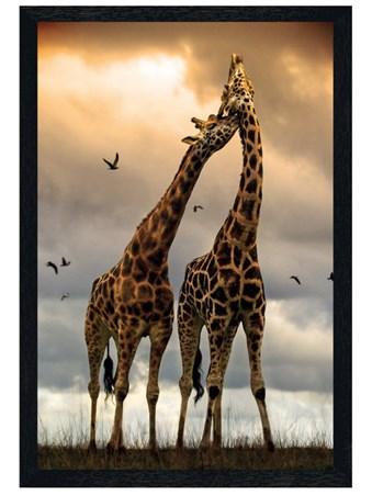 Black Wooden Framed Giraffe Sunrise Framed Poster