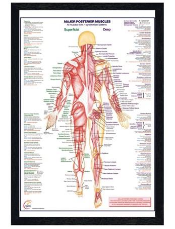 Black Wooden Framed Major Posterior Muscles Framed Poster