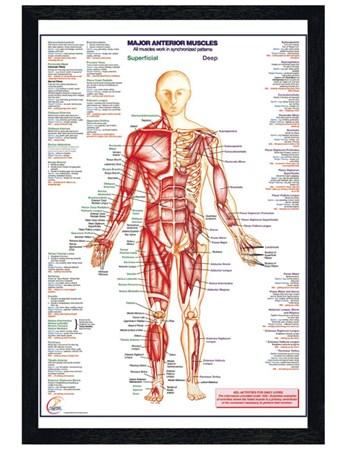 Black Wooden Framed Major Anterior Muscles Framed Poster