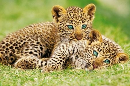 Cheetah Cubs - Rocco Sette