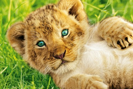 Beautiful Lion Cub - Rocco Sette