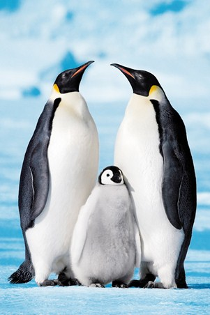 Snuggled between Mum and Dad! - Penguin Family