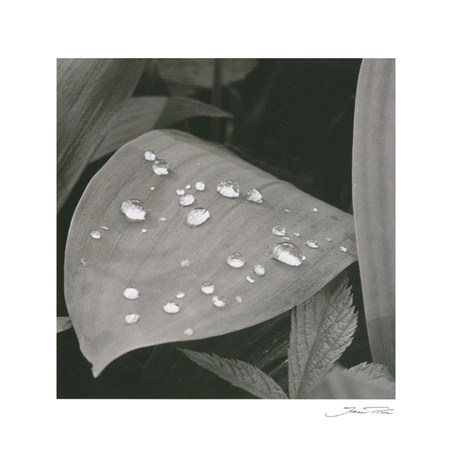 Dew on Lily of the Valley - Jan Tove