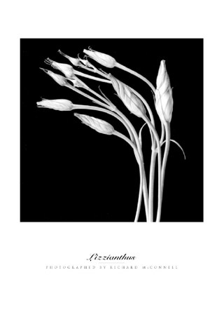 Lizzianthus - Richard McConnell