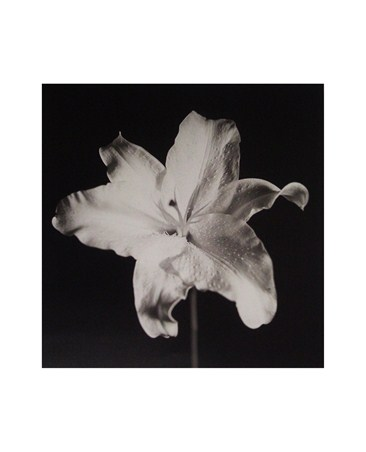 Lily - Michael Banks