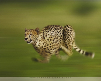 Running Cheetah - Steve Bloom