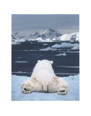 Day Dreaming Polar Bear - Art Wolfe