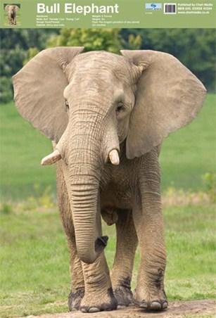 The Elephant - Beautifully Wild