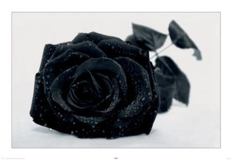 Gothic Rose - Black Rose