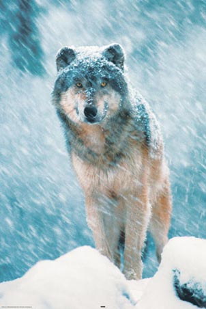 Out in the Snow - Grey Wolf