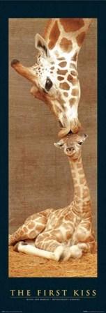 The First Kiss - Giraffes