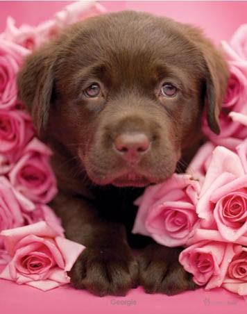 Georgie the Brown Labrador Puppy - Rachael Hale