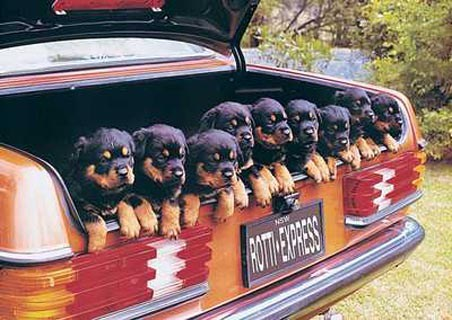 Rotti-Express - Rottweiler Dogs in a car boot