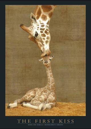 The First Kiss - Giraffes