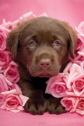 Georgie the Brown Labrador Puppy - Rachael Hale