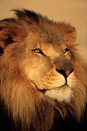 Close-up of a Lion - African Wildlife Photography