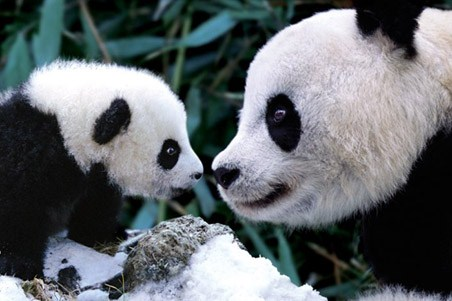 Little and Large - Pandas