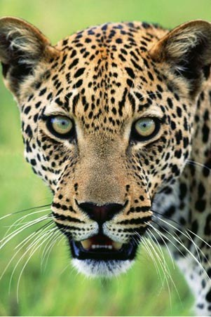 A Jaguar's Hypnotic Stare - A Warning from Panthera Onca