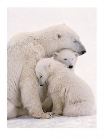 Polar Bear Love - Animal Photography