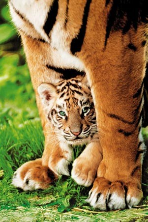 Mother and Cub - Cute Tiger Cub Protected By Mother