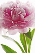 Pink Peony Flower Mini Mural