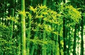 Bamboo in the Spring by Dave Brullmann Plant life Mini Mural