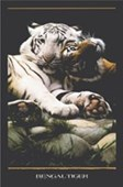 2 Bengal Tigers Panthera Tigris Tigris
