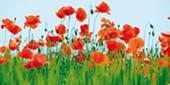 Poppy Field Jan Lens