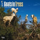 Goats In Trees Climbing Goats of Morocco