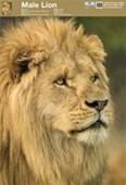 Animal World Lion