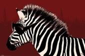 Troy The Zebra It's A Wildlife