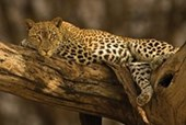Lazy Leopard Wild Cat