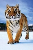 Tiger In The Snow Prowling Predator