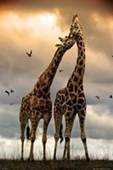 Giraffe Sunrise African Wildlife