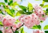 Sakura Blossom Cherry Charm