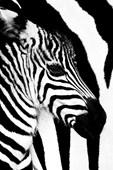 Zebra Mare and Foal Rocco Sette