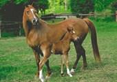 Arab Mare & Foal Horses