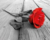 Red Rose on Wood Vibrant Romance