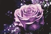Lilac Rose Midnight Blossom