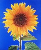 Sunflower H Schwarz