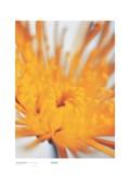 Yellow Flower on White, Chrysanthemum Michael Banks
