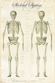The Skeletal System Bones