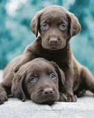 Adorable Chocolate Labradors Keith Kimberlin