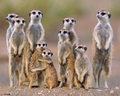 A Family of Meerkats Nature Photography