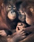 Orangutan Family Tim Flach