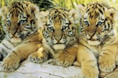 A Trio of Tigers Tiger Cubs