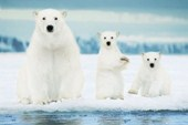Polar Harmony Polar Bear Family