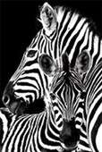 Zebra & Foal Black and White Beauty