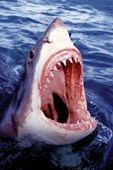 Jaws! Great White Shark