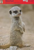 Cute Meerkat Kitten Wildlife Fun Facts